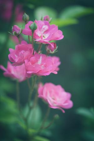 field depth: beautiful pink garden roses background closeup shallow depth of field Stock Photo