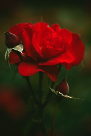 depth of field: beautiful red garden rose background closeup shallow depth of field