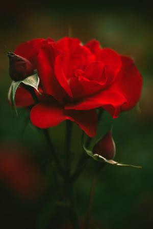 tiefe: schöne rote Rosengarten Hintergrund Nahaufnahme seichte Tiefe des Feldes Lizenzfreie Bilder