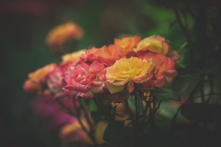 depth of field: beautiful  garden roses background closeup shallow depth of field