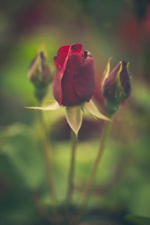 field depth: beautiful red garden roses background closeup shallow depth of field