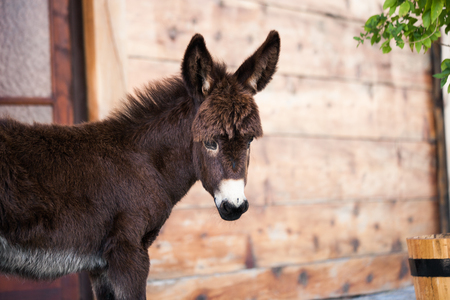 house donkey: baby donkey portrait in front of the mountain house Stock Photo