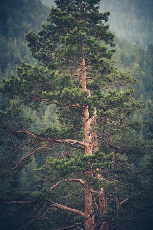 huge tree: huge evergreen tree on mountain