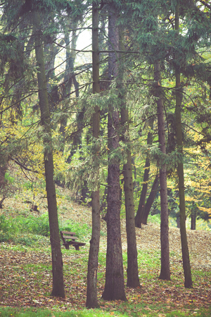 evergreen trees: autumn park landscape with evergreen trees