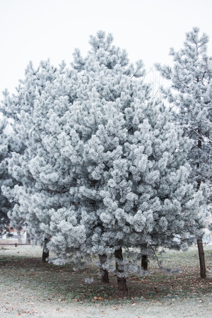 frost winter: evergreen tree covered with frost cold winter day