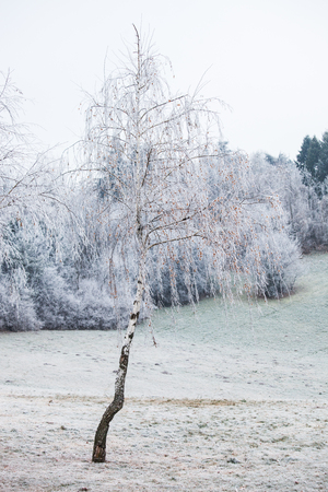 frost winter: birch covered with frost cold winter day Stock Photo