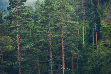 evergreen trees: forest of evergreen trees in mountain nature background Stock Photo