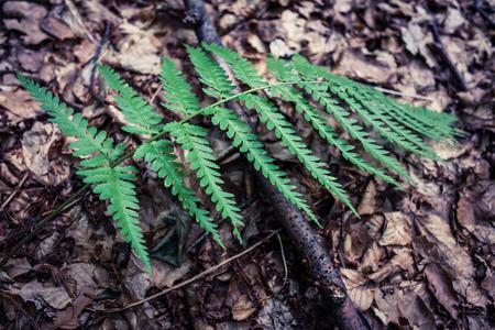 Nahaufnahme des Farns nonflowering Gefäßpflanze reproduzieren durch Sporen im Freien im Wald