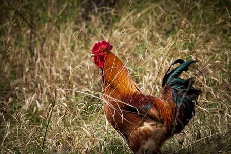 domestic ruster in grass on rural farm closeup