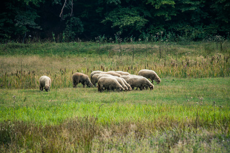 small sheep flock grazing on meadow near the wood in mountain valley
