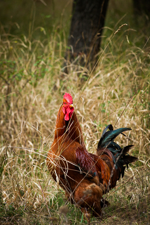 free domestic rooster in grass on rural farm