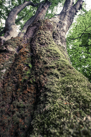 huge old beech tree closeup overgrown with moss in Nature Reserve rainforest Vinatovaca in Serbia, East Europe