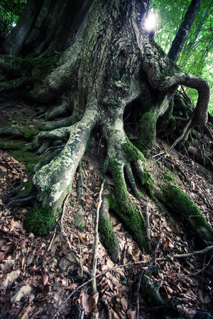 closeup of huge roots of ancient  beech tree in rainforest Vinatovaca in Serbia, East Europe