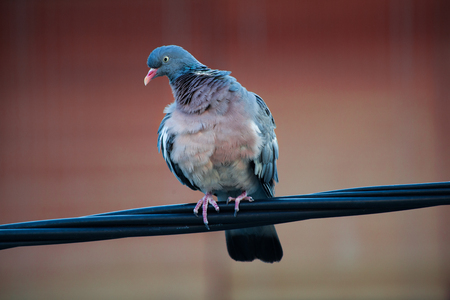 wild wood pigeon stand on electric wire while the wind blows closeup
