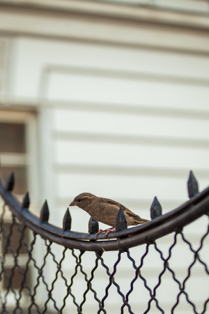 little sparrow stand on fance in the city day shot