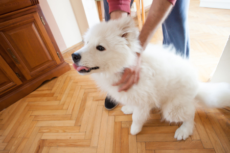 young man play with his puppy Samoyed indoor at house Standard-Bild