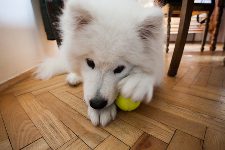 playful cute puppy Samoyed indoor play with tennis ball