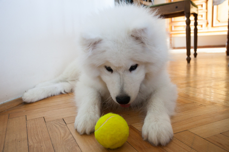 playful cute puppy Samoyed indoor play with tennis ball Standard-Bild