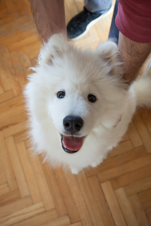 young man play with his puppy Samoyed indoor