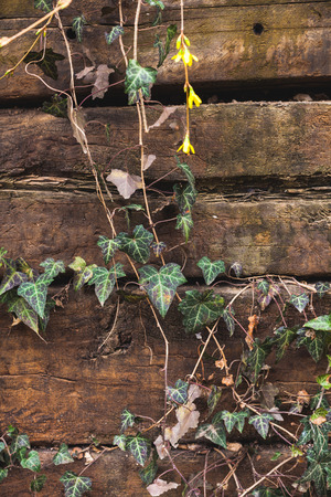 creeper on old wooden fence background