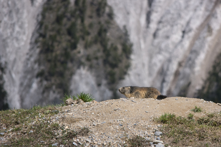 marmot, near den, with the green grass, in the french Alps Stock Photo
