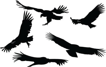 andean condor: condors collection Illustration