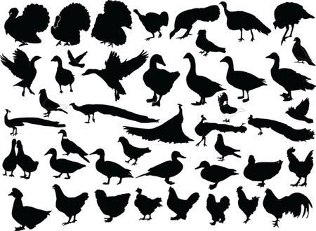 geese: poultry collection - vector Illustration