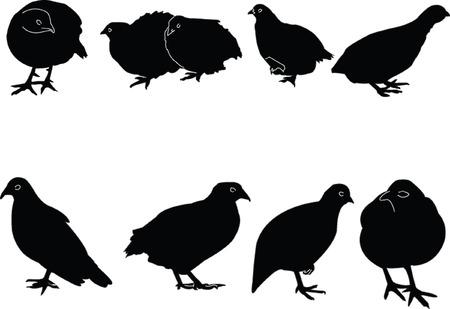 quail collection - vector Vector