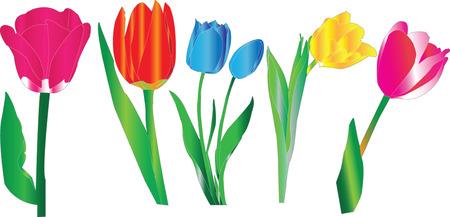 tulip illustration  Vector