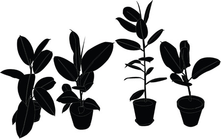 avuç:  rubber tree collection