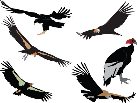 andean: condors collection Illustration
