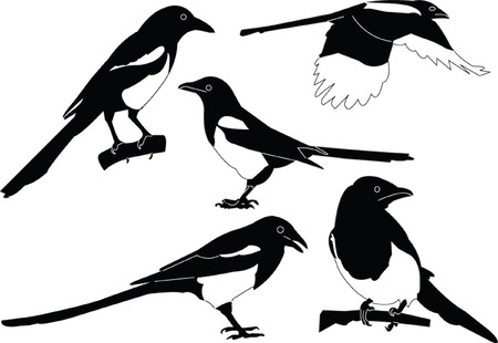 magpies collection Stock Vector - 7689021