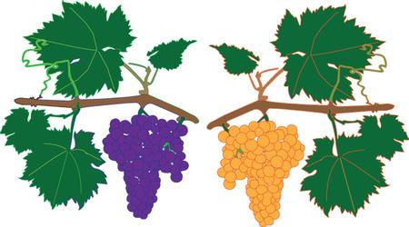vitis: cluster grapes