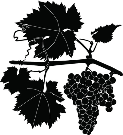 cluster grapes Stock Vector - 7966194
