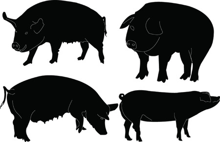porcine: pigs collection