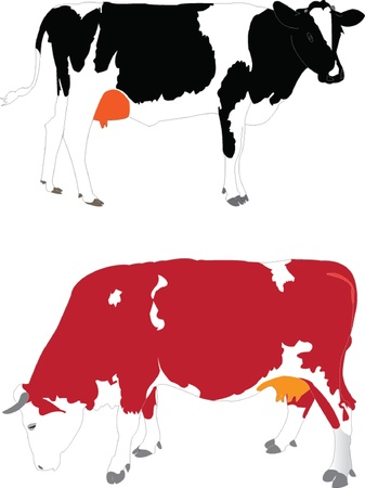 domestic cattle: two cow illustration