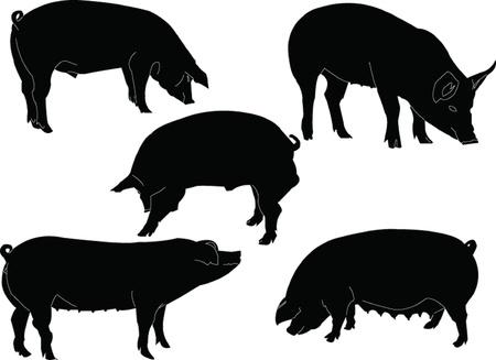 collecte de porc