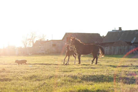 chased: Horse and foal chased away the black dog, sunlight Stock Photo