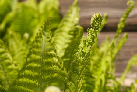 tropical native fern: Fern a green plant in sunlight, background, close-up