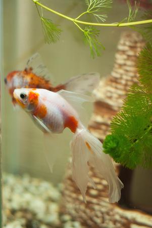 air bladder: The fish in the aquarium, green algae in water, air bubbles