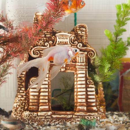 aquarium hobby: Aquarium, fish swim in the background of the decorative locking and algae, pebbles on the bottom, closeup Stock Photo