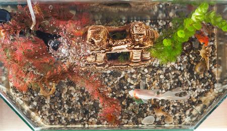 aquarium hobby: Aquarium, top, fish, decorative lock, algae, pebbles on the bottom, Stock Photo