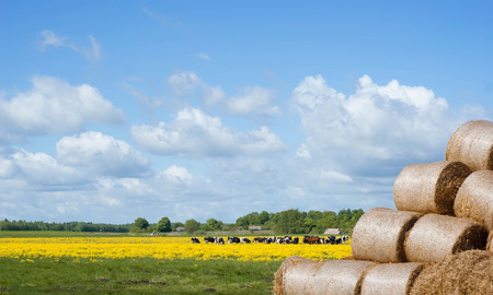 A herd of cows in a meadow in the distance, blue sky with clouds, yellow colza and chamomile, haystack