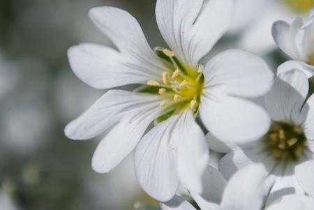 White saxifrage, close up, white flowers, macro photo Stock Photo