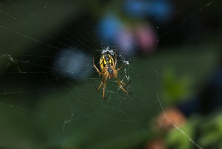 Argiope bruennichi-type Orb-web. spider crawling on a spider web on a green background