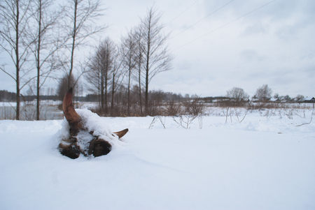 Dried cow skull in the snow, the concept of mortality of cattle in the winter