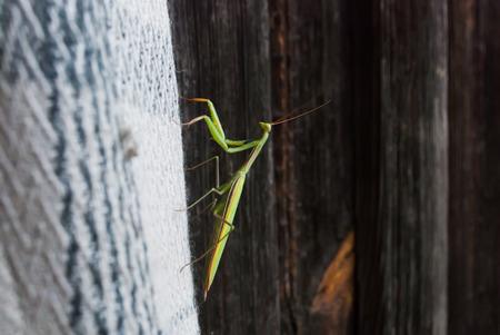 green praying mantis on a wooden background, macro, Praying Mantis Stock Photo