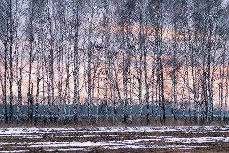 Birch in early spring, the trees at sunset Stock Photo