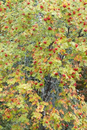 Autumn mountain ash with red berries and colorful leaves. autumn background,