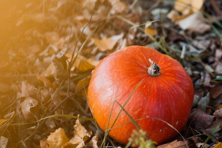 a small pumpkin and fallen leaves lie in the grass. Pumpkins in the background. The image for the poster of the festival of the harvest